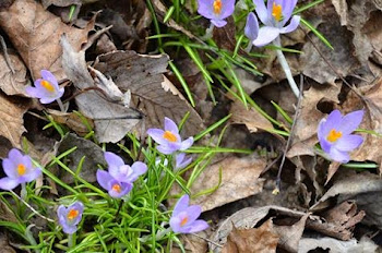 More Spring Flowers Overlooked by the MSM But not Us