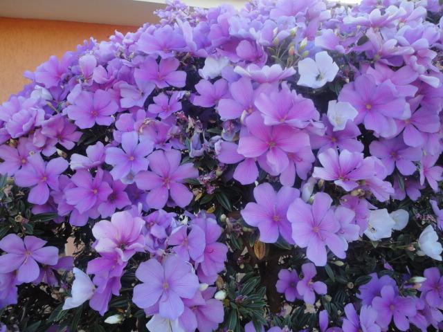 Blogando Azul Flores de Nova Fátima