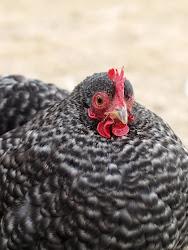Hønsehold i hagen