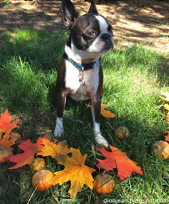 Sinead the Boston terrier is trying to get out of this fall photo shoot