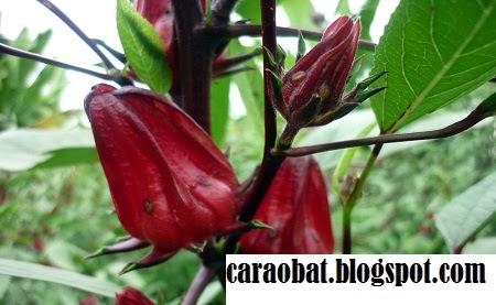 Manfaat Bunga Rosela