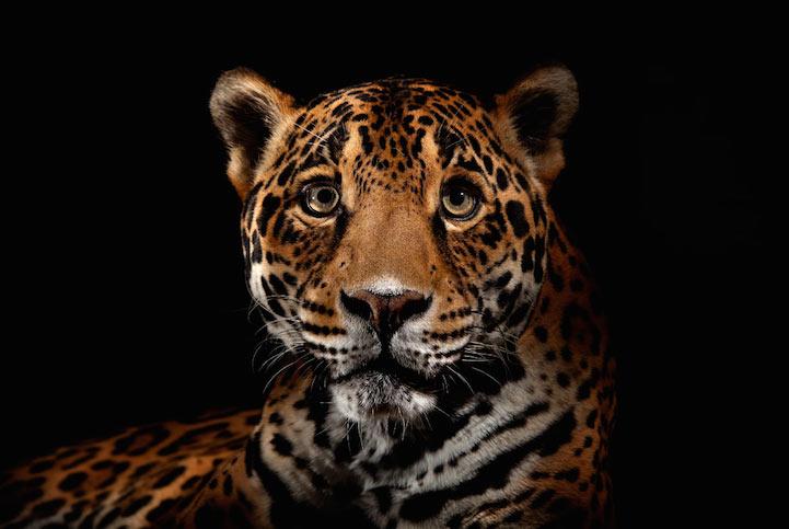 Impresionantes fotos muestran la elegante  belleza de los grandes felinos