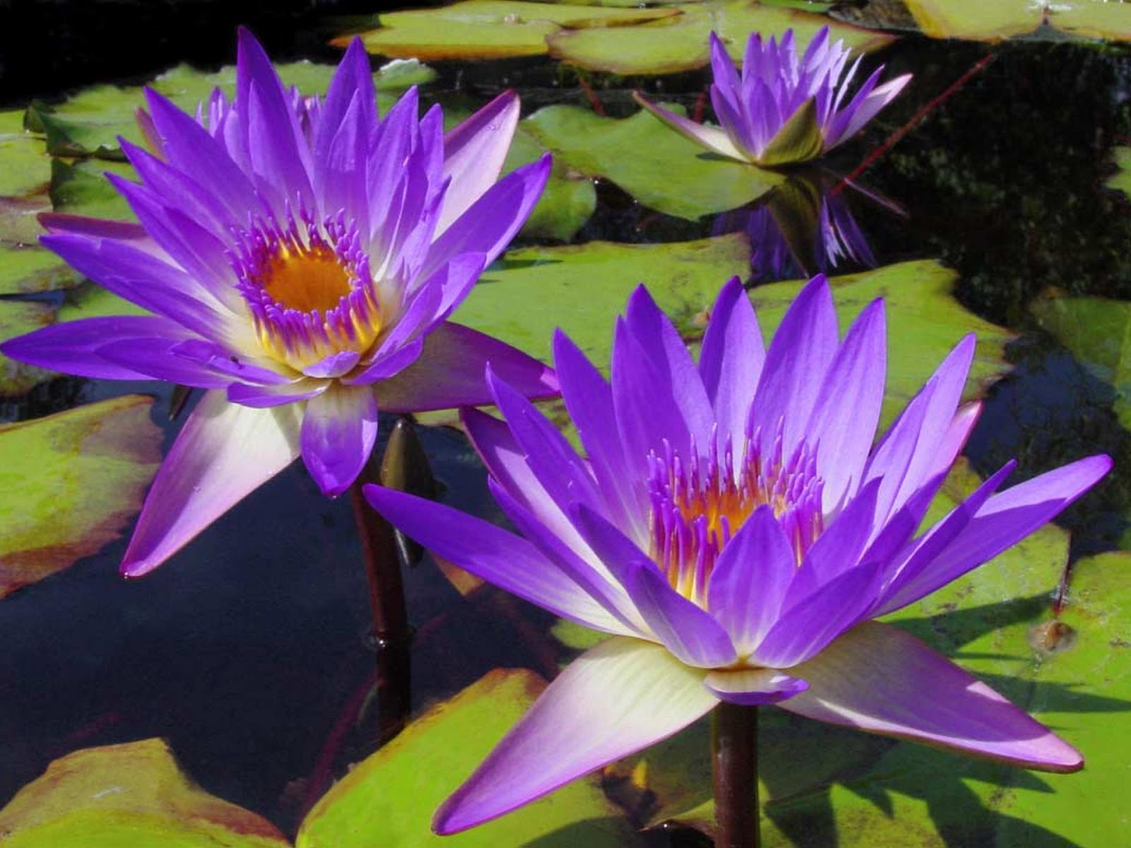 how to grow water lily at home