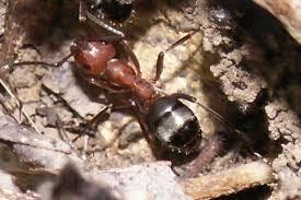 Slave Maker Ants