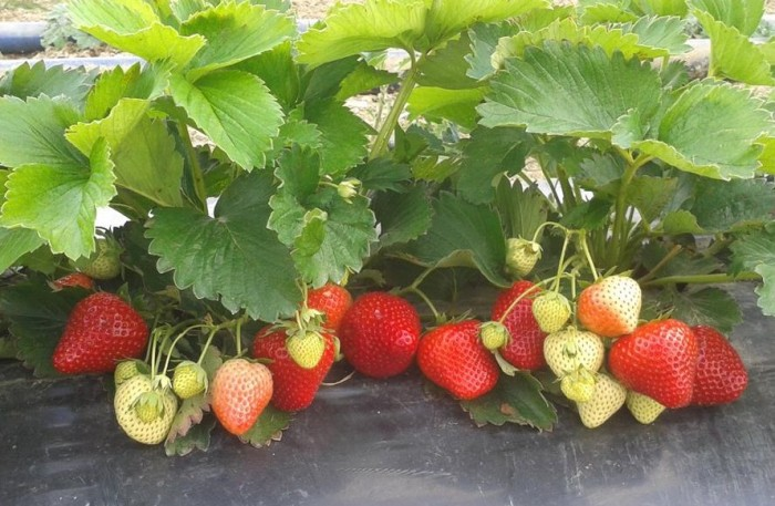 Agraria gioiese blog ufficiale 01 01 2016 02 01 2016 for Piante fragola vendita