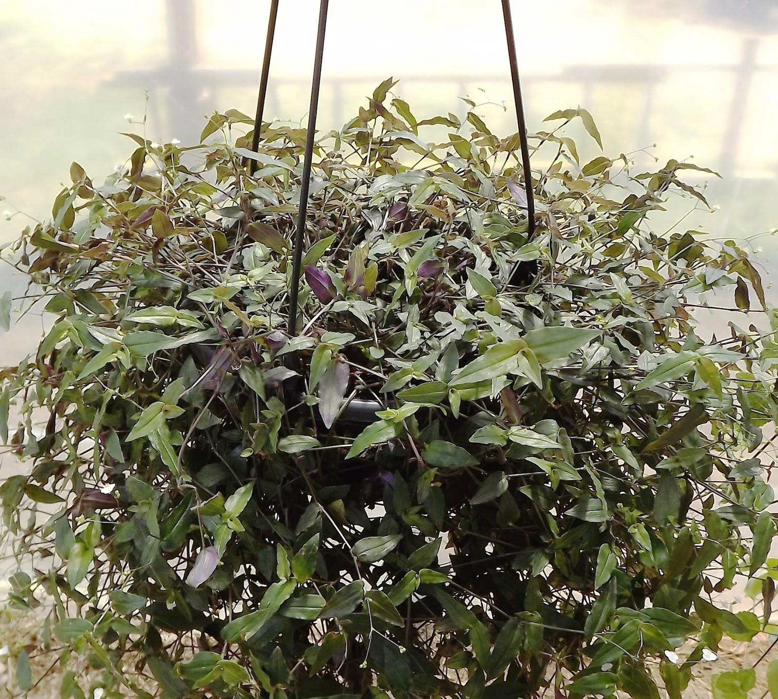 Favoritos Flora Monte Claro: O milagre da multiplicação botânica: Véu de noiva KK16