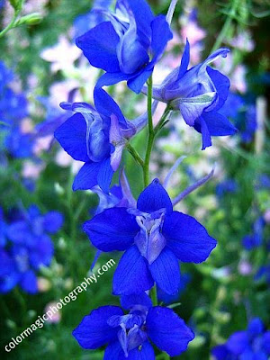 Blue Larkspur flower