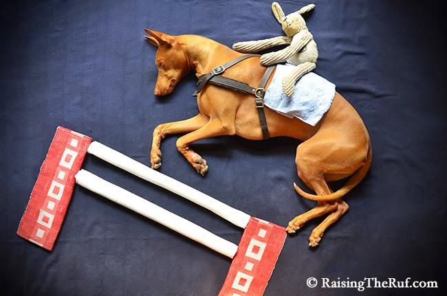dog horse jumping