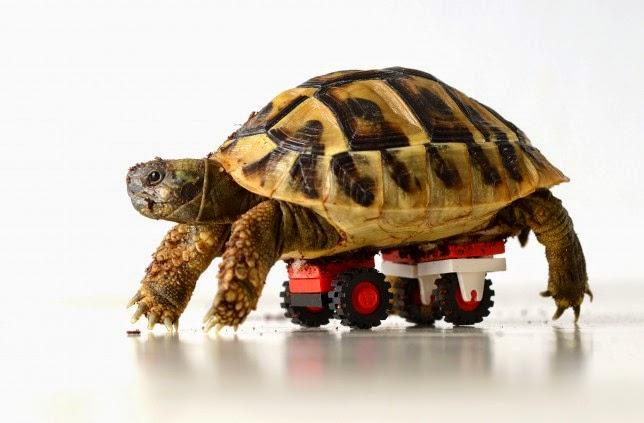 Tartaruga especial,tem rodas adaptadas para se locomover