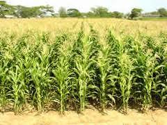 El proceso a seguir para sembrar y cosechar el elote for Sembrar maiz y frijol juntos