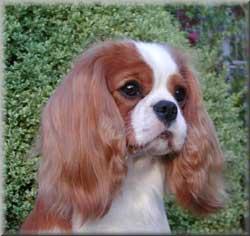 Cavalier King Charles Spaniel (CKCS) Dog