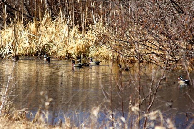 a small flock of wood ducks