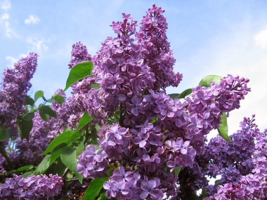Résultat d'images pour Lilas mauve en fleurs