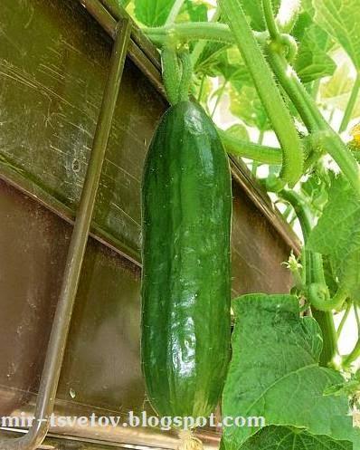 Мир растений: выращивание зелени на балконе.