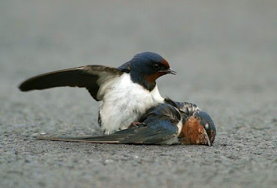 male bluebird finds mate dead2