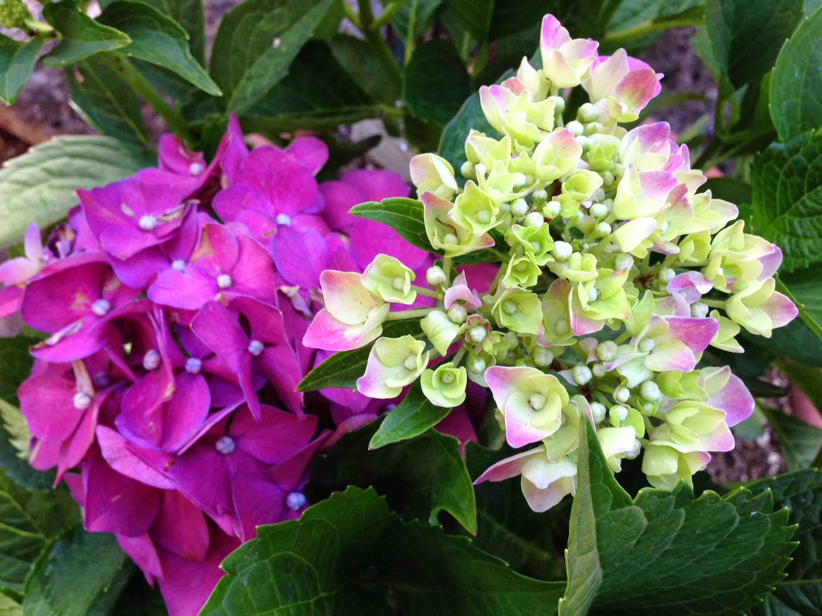 #100HappyDays: Hydrangeas in bloom