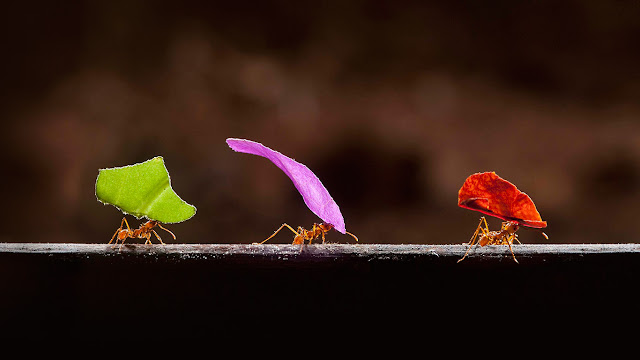 Leafcutter ants in Boca Tapada, Costa Rica (© Bence Mate/Visuals Unlimited/Corbis) 637
