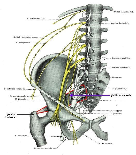 Sacral Plexus Anatomy Gallery - human anatomy diagram organs
