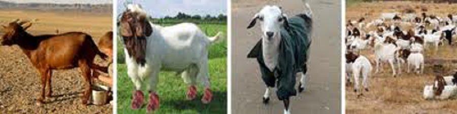 Peternakan Kambing dan Domba