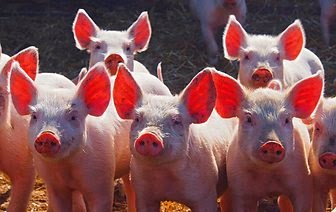"BBC Countryfile competition winner 2014, ""Piglets on Parade"""