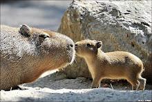 Capibaras ROCK