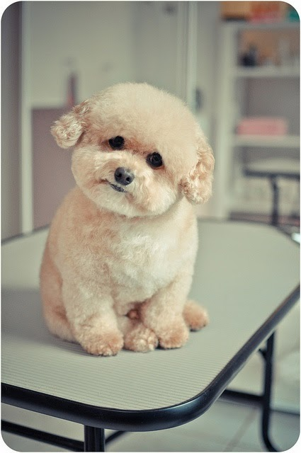 this has got to be a bichon mix