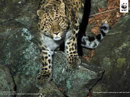 Foto Macan Tutul amur