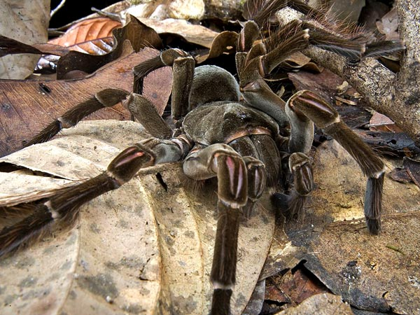 Biggest Spider in the World~Goliath Bird Eater Spiders is @no.2