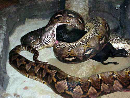 Anaconda eating a Pig