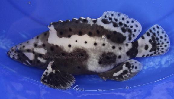 Ikan Kerapu Kustang