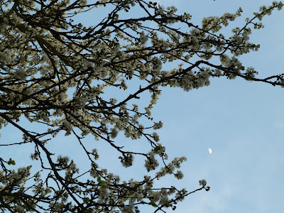 Plum tree blossoms and evening sky with moon 30 Mar 2012