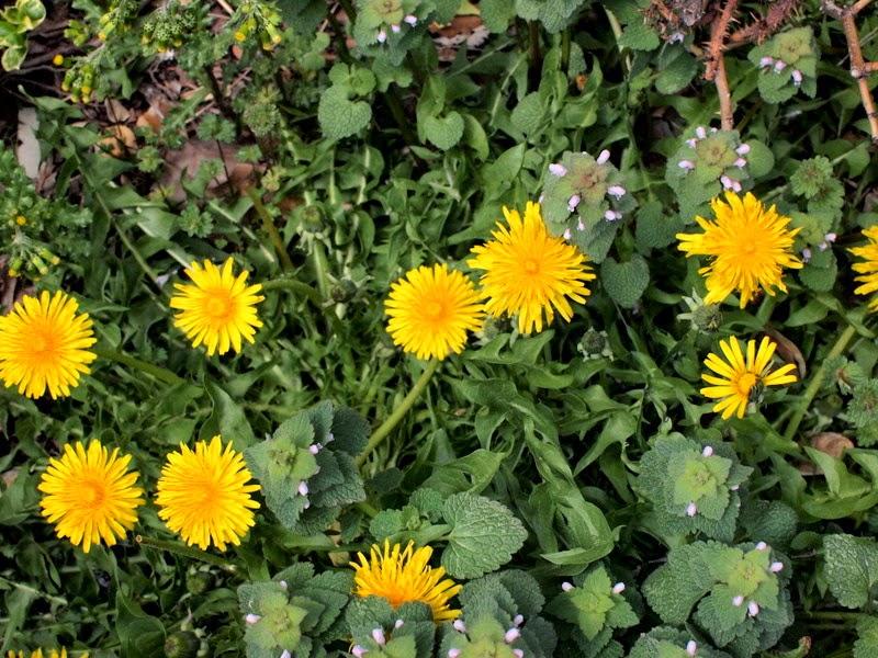 pick dandelions to make a crown