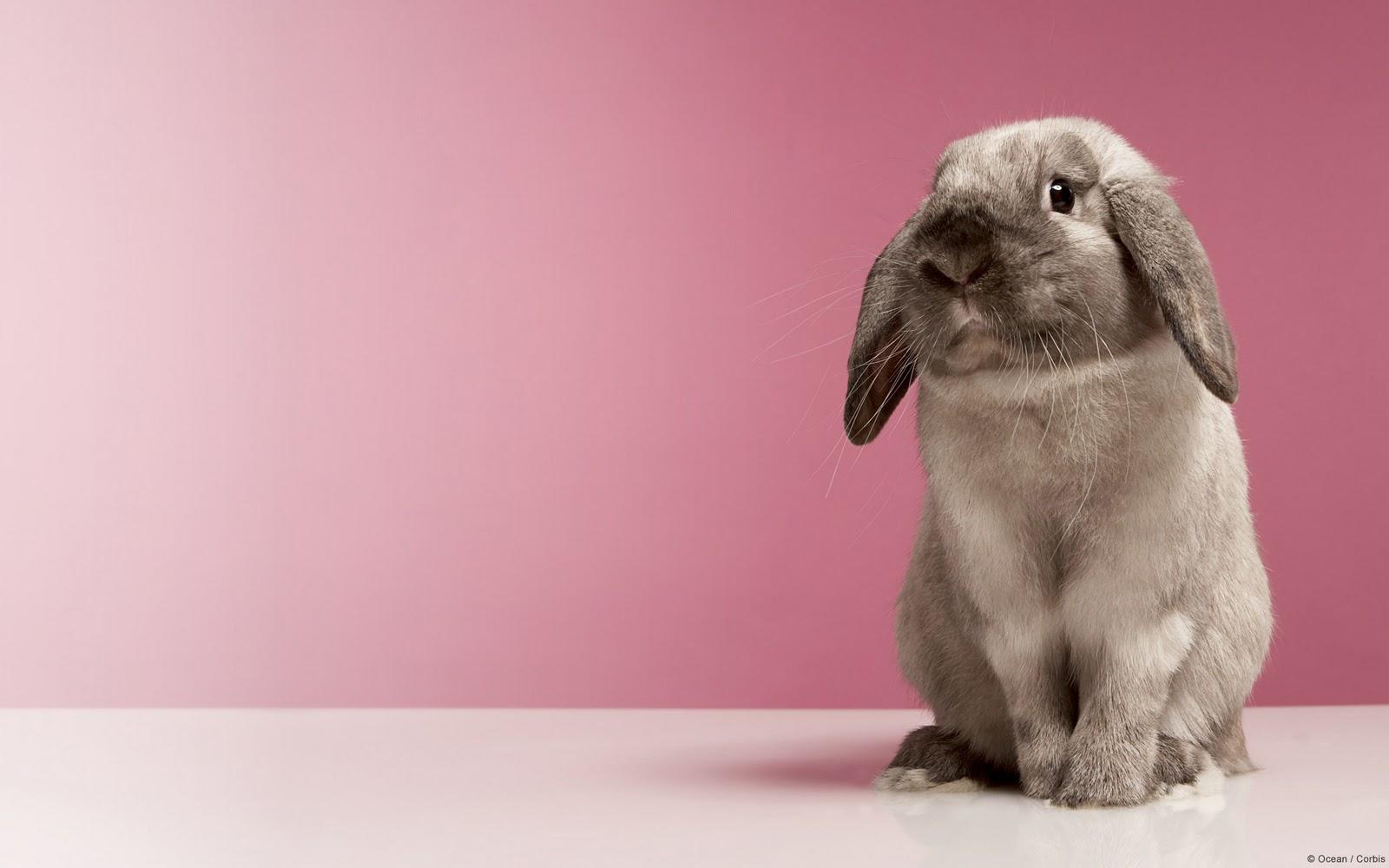 Funny rabbit wallpaper |Funny Animal Funny