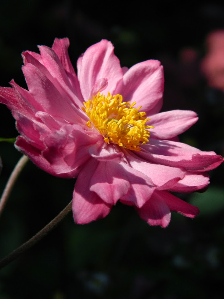 Anemone hupehensis var. japonica Pamina by garden muses-not another Toronto gardening blog