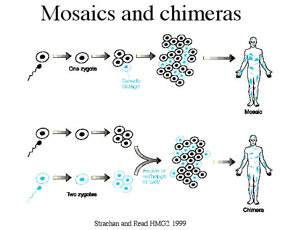 chimera mosaicism The human chimera: legal problems arising from individuals with multiple types of dna robert granzen introduction science continually changes, and with it our understanding of the human body.