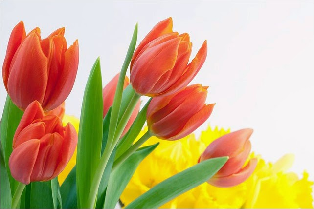 spring tulips flower bouquet