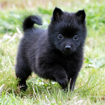 Adorable black Schipperke Puppy