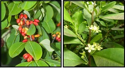 Frutos y flores de Erythroxylum coca