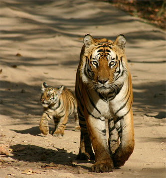 Essay about wild animal tiger