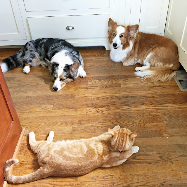 jon farleigh, dewi (corgi dogs) and bobby flay o'fish (ginger cat) lying on a circle in corner of kitchen