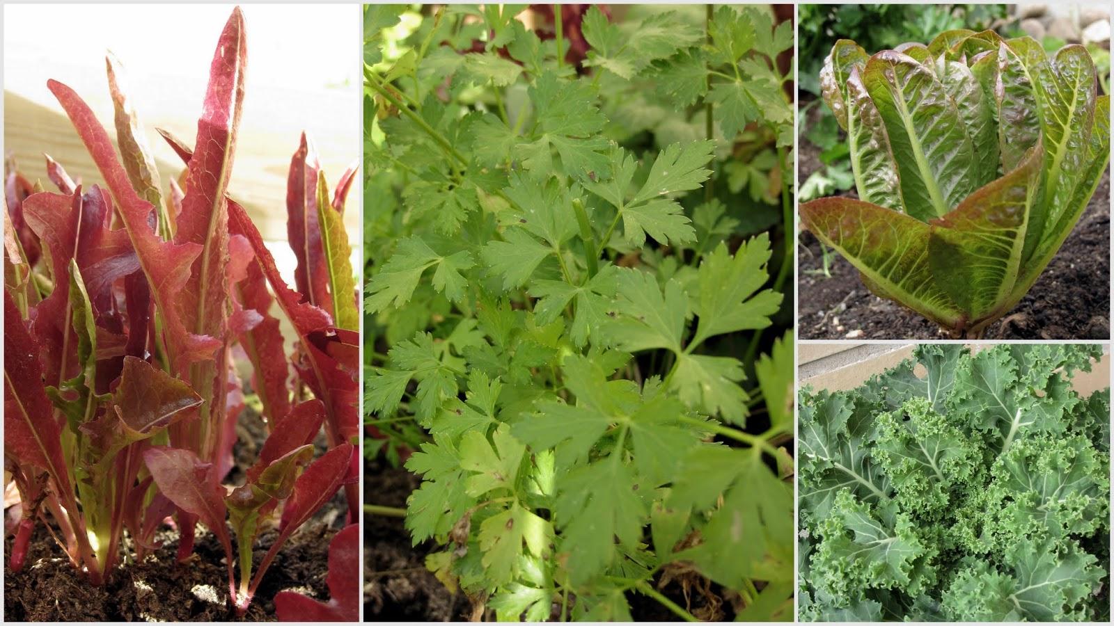 salaatin kasvatus, lehtipersilja, lehtikaali, pieni kasvimaa