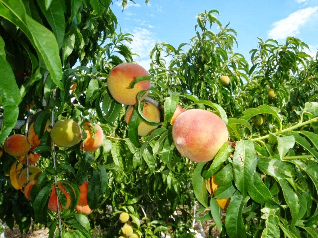 Xtremehorticulture of the desert elberta peach fruit for The peach tree