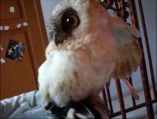 Foto Scops Owl (Albino phase)