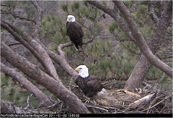 Photo from Norfolk Botanical Gardens Eagle Cam