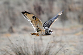 Short-eared Owl by Amy Lewis