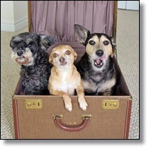 Picture of 3 dogs in suitcase