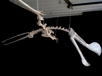 Tropeognathus skeleton