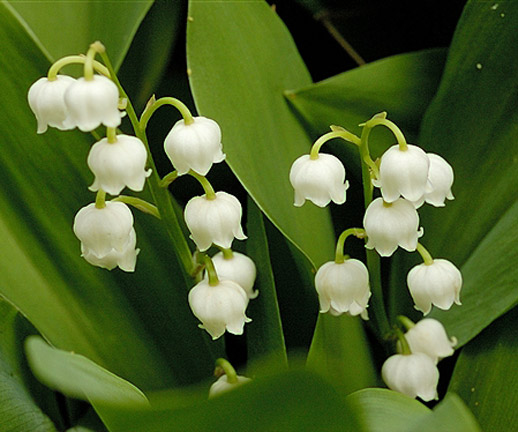 Green girly zone 3 flowers lily of the valley description the lily of the valley convallaria majalis is a delicate nodding tiny bell shaped white flower its scent is very intoxicating mightylinksfo