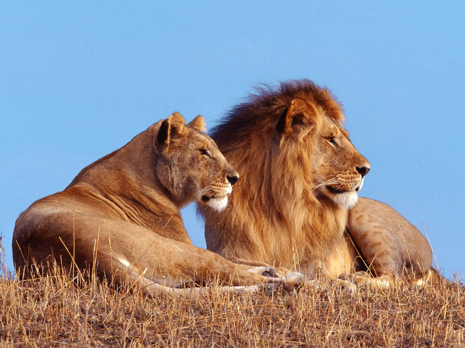 Lion family hd - photo#14