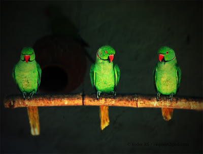 Parrots and The Three Musketeers